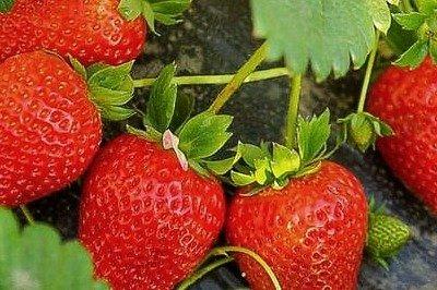 草莓视频版本大全